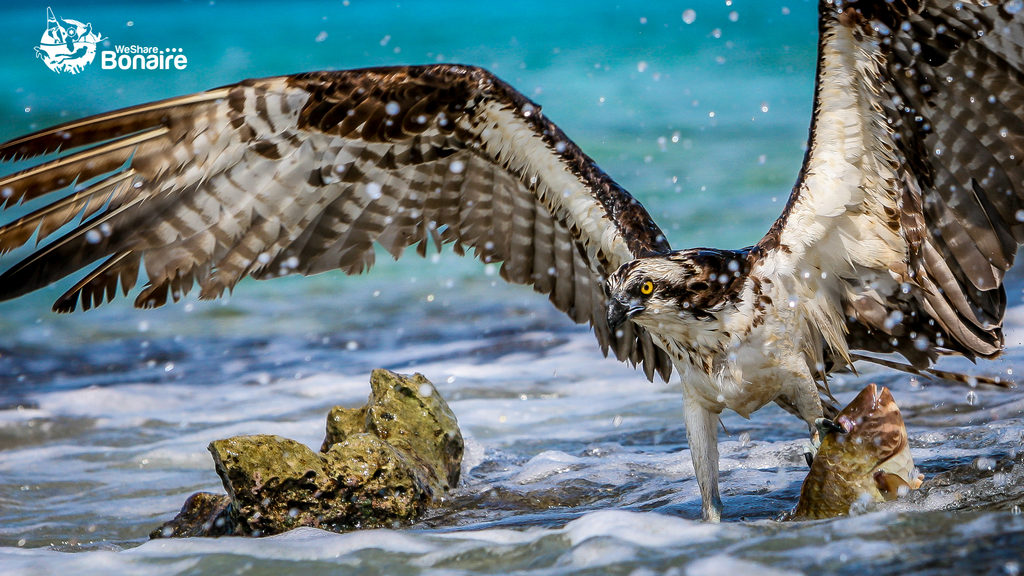 The Osprey
